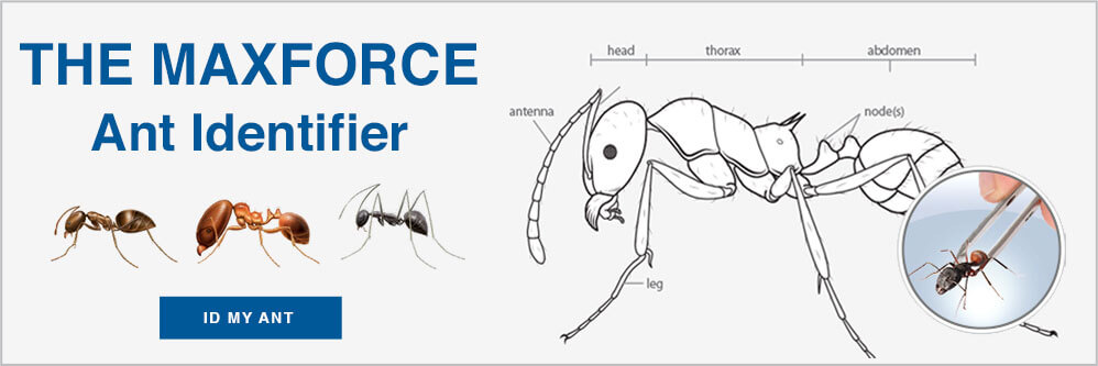 Ant ID Guide